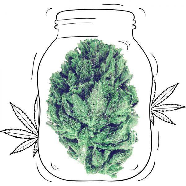 Buy Amnesia Haze Cannabis - Medicinal - Weed UK